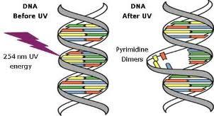 La interacción del ADN con la radiación UV es bastante desastrosa para esa molécula. Produce mutaciones directas sobre nuestro ADN.