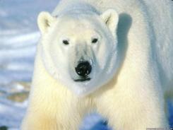 Oso-Polar-Blanco