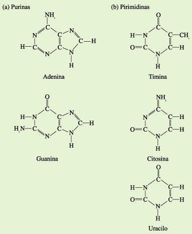 nucleotidos_y_acidos_nucleicos03