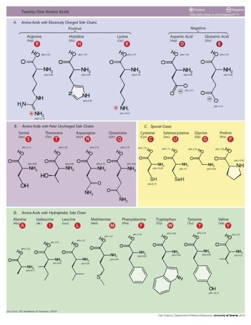 aminoacidos-proteicos