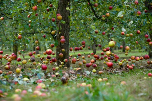 apples-falling