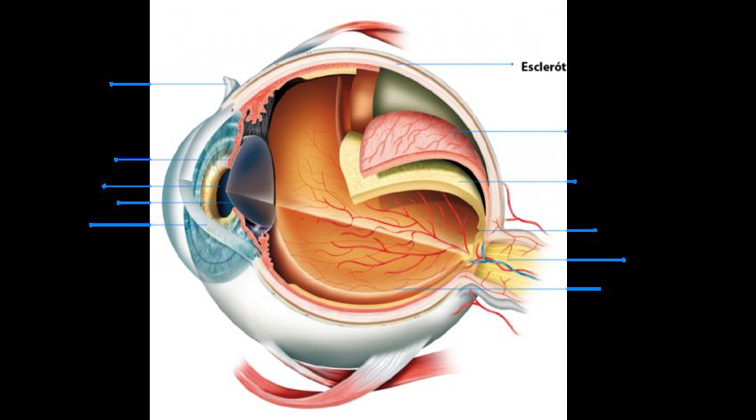 anatomia-del-ojo-01-01-1024×569 | Cuentos Cuánticos